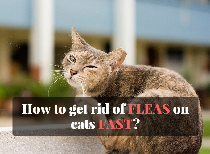 how to get rid of fleas on cats fast. Black Bedroom Furniture Sets. Home Design Ideas
