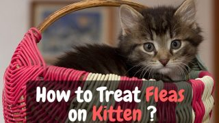 treat fleas on kittens