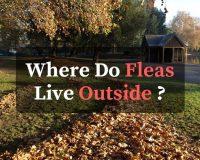 where do fleas live outside