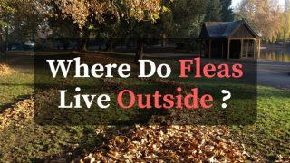 where do fleas live outside