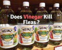 Does vinegar kill fleas