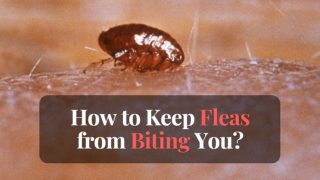 How to keep fleas from biting you?